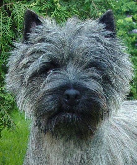 Cairn Terrier Cadero of Barnsley