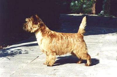 Cairn Terrier Quite Apart of Barnsley