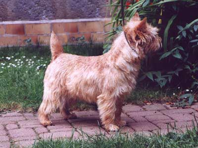 Cairn Terrier Kendra of Barnsley