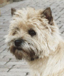 Cairn Terrier Tailor Made of Barnsley