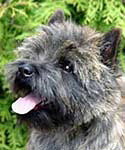 Cairn Terrier  Mambo No. 5 of Barnsley