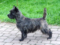 Cairn Terrier Maxine of Barnsley