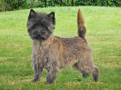 Cairn Terrier Megan of Barnsley
