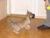 Cairn Terrier Pathfinder of Barnsley