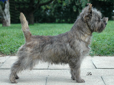 Cairn Terrier Solid Gold of Barnsley