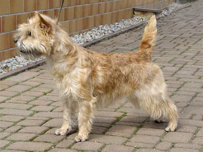 cairn terrier Tamina of Barnsley