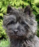 Cairn Terrier Xantia from Mount Kilbride