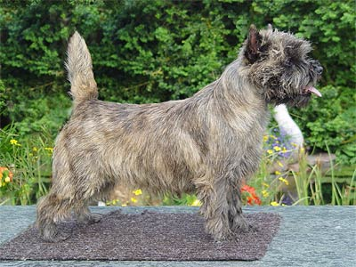 Cairn Terrier of Barnsley